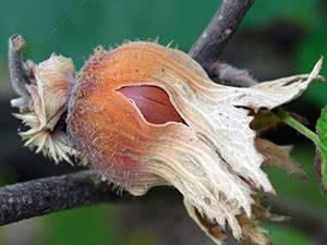 Лещина обыкновенная, выращивание и уход