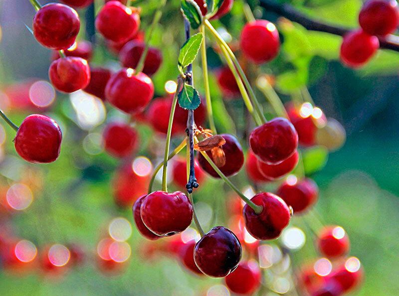 Посадка и уход за вишней весной, летом и осенью