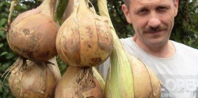 Правильный полив лука: как часто и сколько