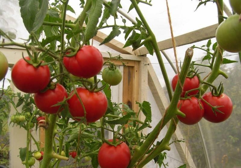 Замечательный гибридный сорт томата универсального назначения — помидоры «интуиция»