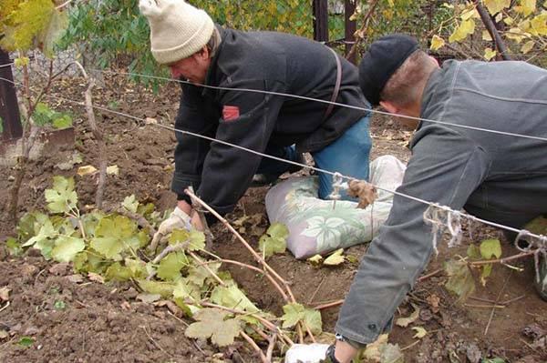Зима не за горами: как правильно укрыть виноградную лозу