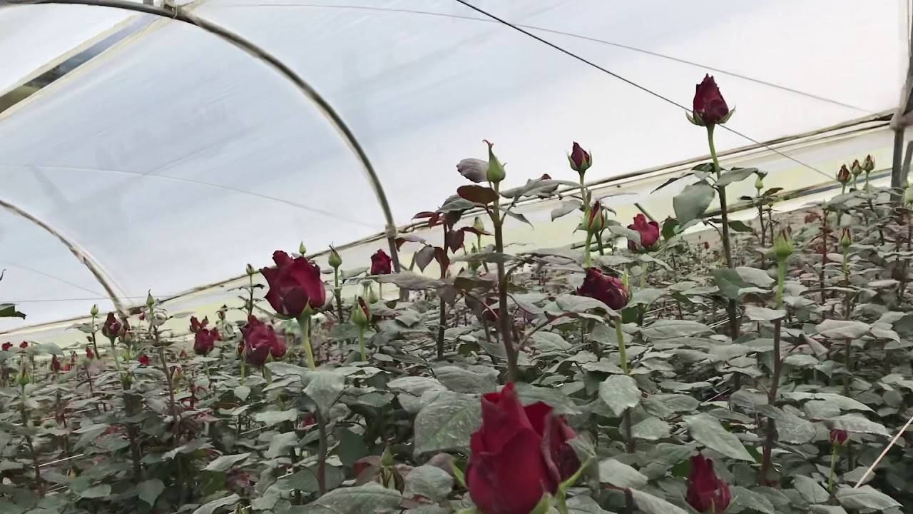 Роза гранд аморе: передаем суть