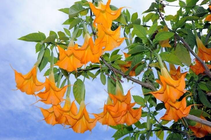 Симпатичный цветок с загадочными свойствами — дурман