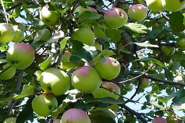 10 сортов колоновидных яблонь, которые я рекомендую для средней полосы