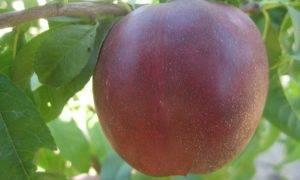 Характеристика и описание сорта помидоров рапунцель, его урожайность