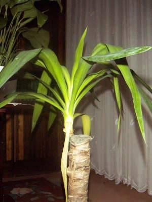 Мягкий ствол, отсутствие цветения и желтые листья – как найти причину болезни юкки?