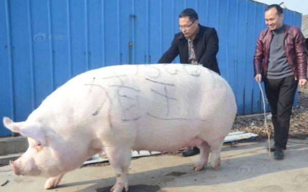 Свиньи в книге рекордов гиннесса