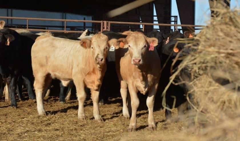 Что делать, если корова объелась зерна: правила первой помощи, использование народных средств, меры профилактики