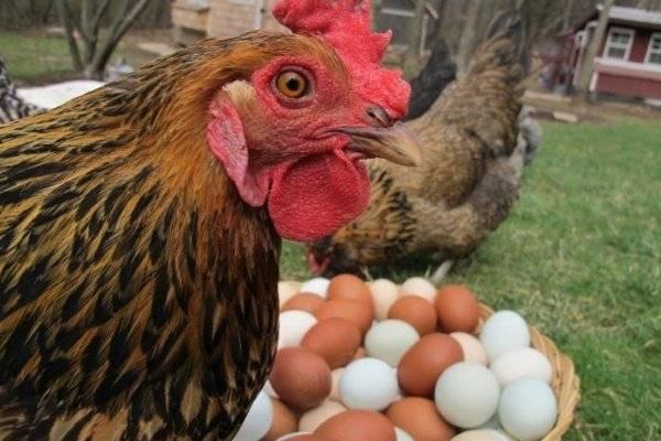 Кормление кур несушек в домашних условиях: составляем рацион питания