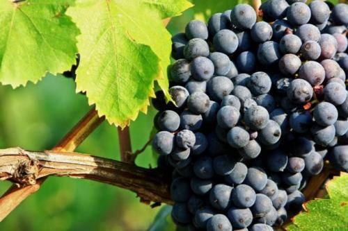 Какая почва нужна для посадки винограда, выбор лучшей и способы подкормки грунта
