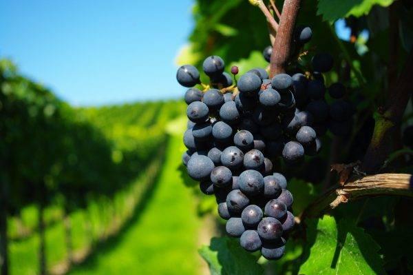 Пересадка винограда. способы, время, советы