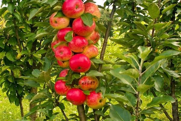 Выращивание и уход за колоновидной яблоней, на каком расстоянии сажать