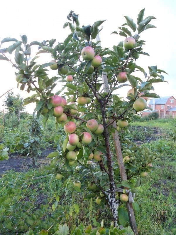 Сильные и слабые стороны яблонь сорта лада