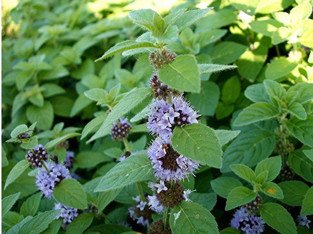 Отличительные характеристики колосистой мяты и особенности ее выращивания