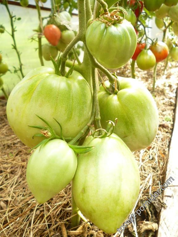 Стойкий томат «подсинское чудо» от минусинских селекционеров: описание сорта, фото