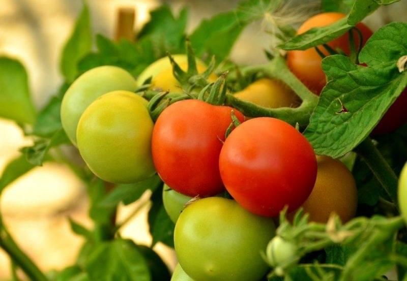 Рекомендации огородникам: когда в подмосковье высаживать в грунт помидоры
