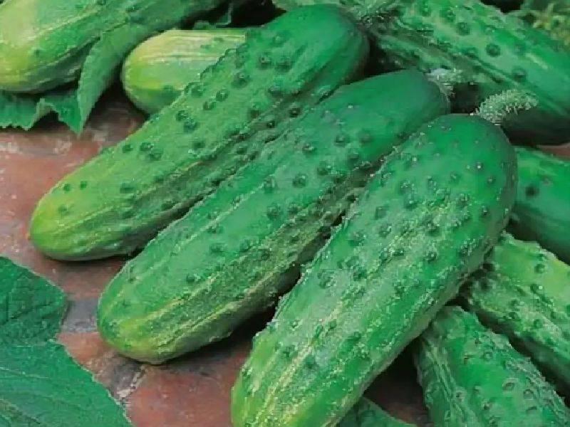 Подходящие сорта и особенности выращивания огурцов в открытом грунте в сибири