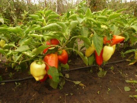 Перец гибридный сладкий сорта - фламенко f1: описание и секреты выращивания рассады