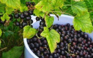 Белая смородина – выращивание целебной и вкусной ягоды на вашем участке