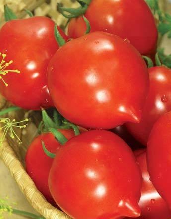 Ранний урожай для новичков — томат «барон» : описание сорта, фото, характеристика