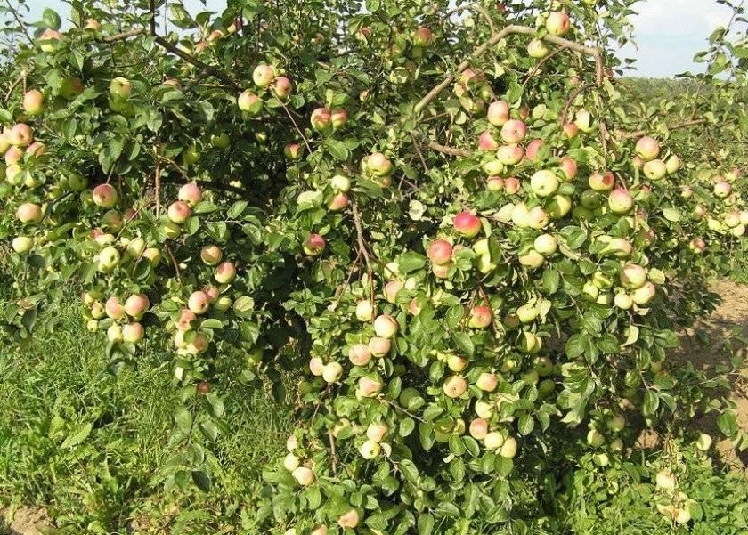 Особенности выращивания яблони литовской селекции ауксис
