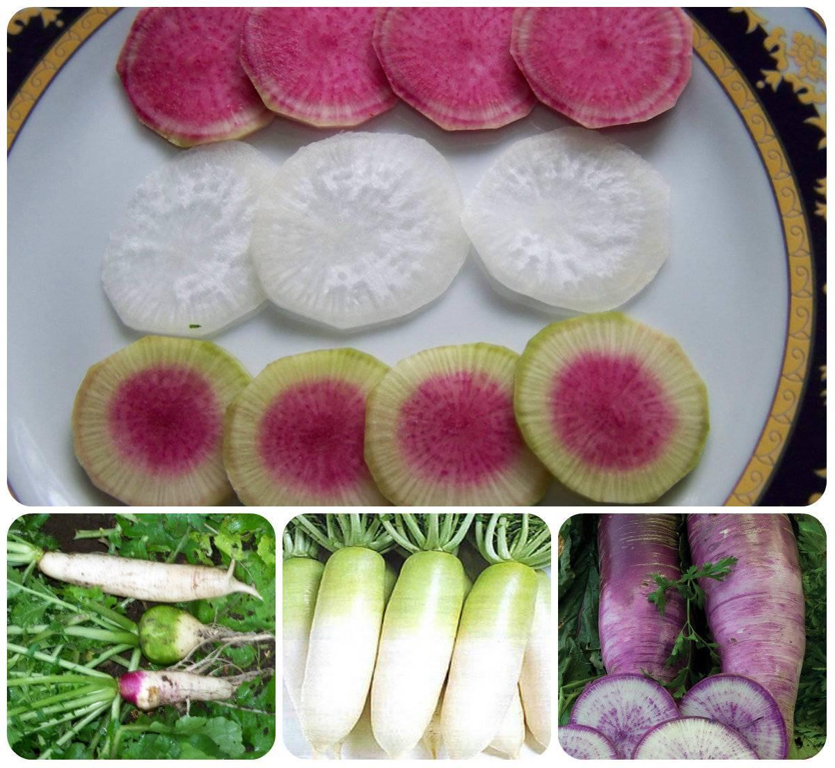 Описание сорта дайкона Мисато Розовый блеск, особенности выращивания и ухода