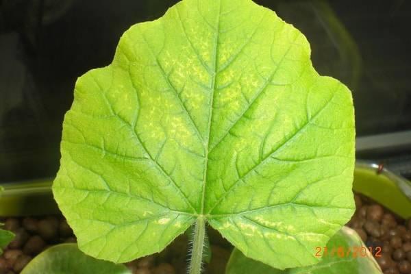 Бледные листья у огурцов: что делать, чем подкормить