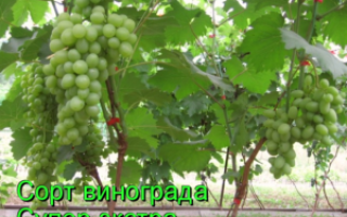 Виноград «супер экстра»: описание, выращивание, уход