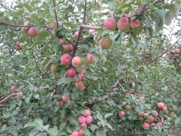 Описание сорта яблони спартан – особенности и агротехника