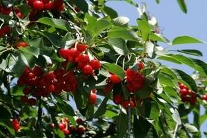 Вишня «морозовка»: вкуснейший сорт ароматных ягод