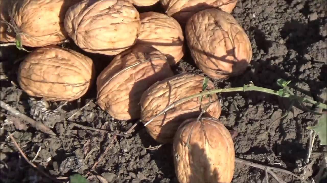 Грецкий орех: выбор саженцев, посадка и уход