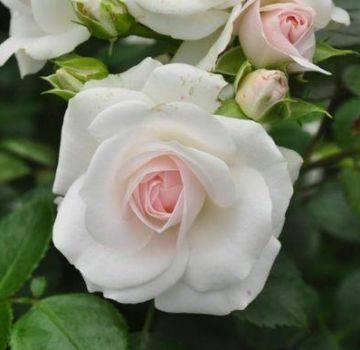 Кортадерия серебристая и розовая - посадка, уход, размножение