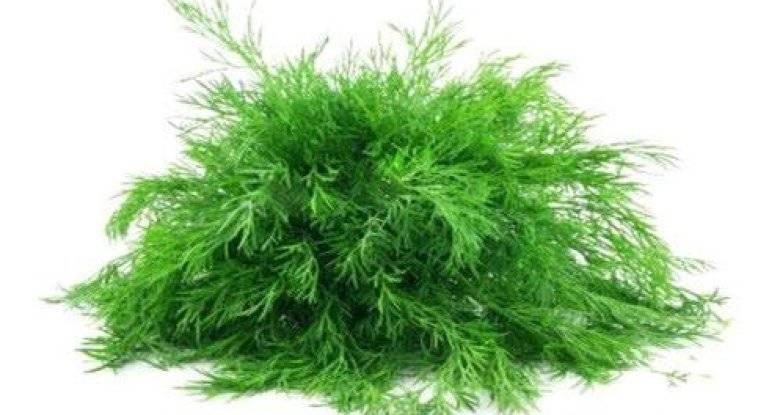Выращивание укропа на подоконнике из семян: советы для начинающих