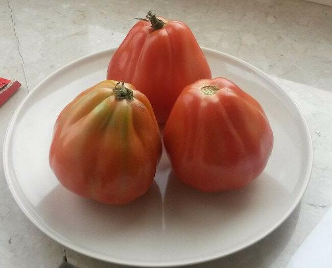 Помидоры бычье сердце — выращивание томатов в теплице