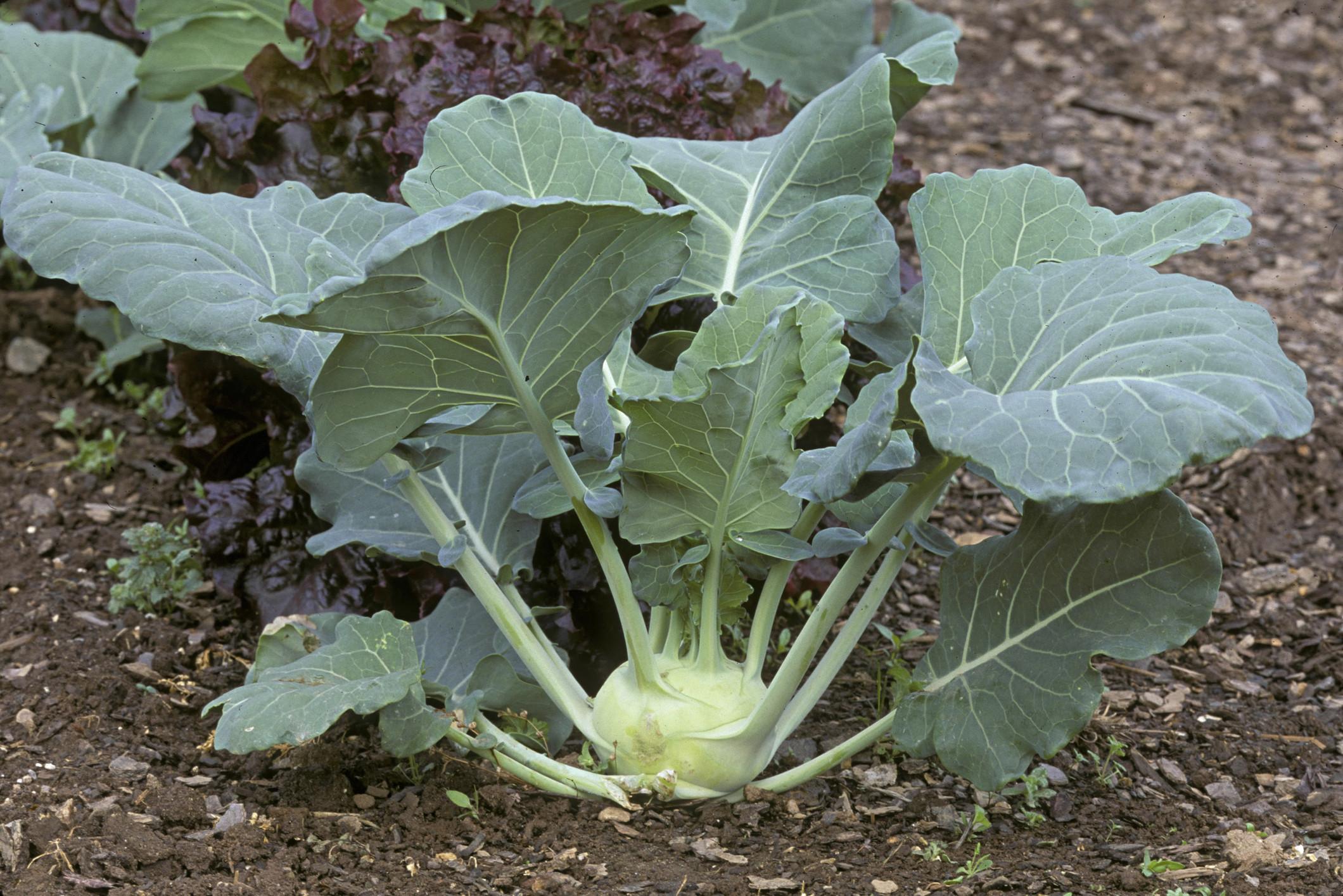 Рецепты заготовок капусты кольраби на зиму