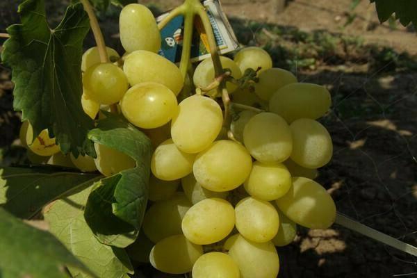Виноград ландыш: описание сорта и фото