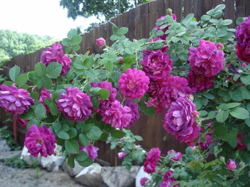Описание и правила выращивания роз сорта рапсодия ин блю