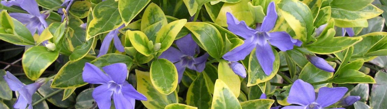 Растение барвинок: посадка и уход в открытом грунте
