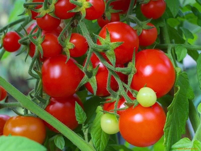 Сочетание всех лучших качеств в одном сорте — томат загадка: описание помидоров и характеристики