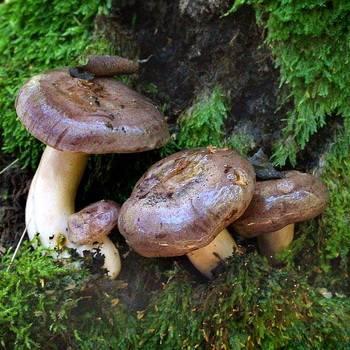 Особенности посола грибов горькушек