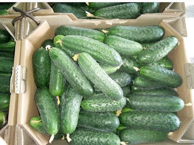 Гибрид огурцов «аякс f1»: фото, видео, описание, посадка, характеристика, урожайность, отзывы