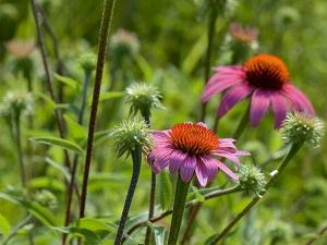 Бархатцы — лечебные свойства, противопоказания, применение