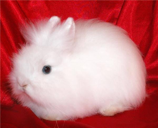 Декоративные кролики: содержание и уход в домашних условиях