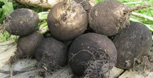 Самые благоприятные дни для посева черной редьки в 2020 году по луне