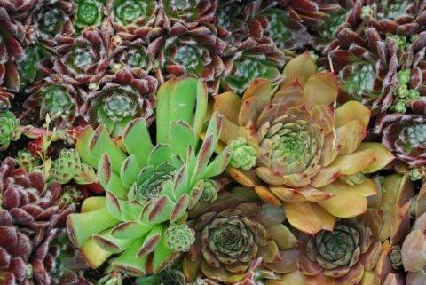 Молодило: виды и сорта растения, уход и размножение