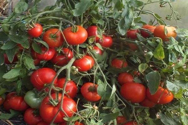 Самые урожайные томаты для ленинградской области, сорта для теплиц и открытого грунта — районированные сорта томатов для ленинградской области