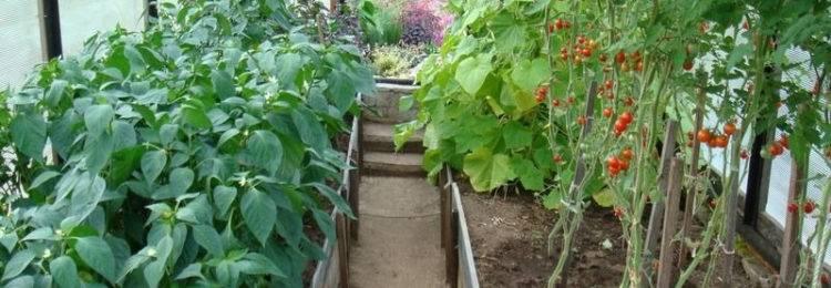 Рядом с чем можно и нельзя сажать горький перец, как выбрать соседство на грядке