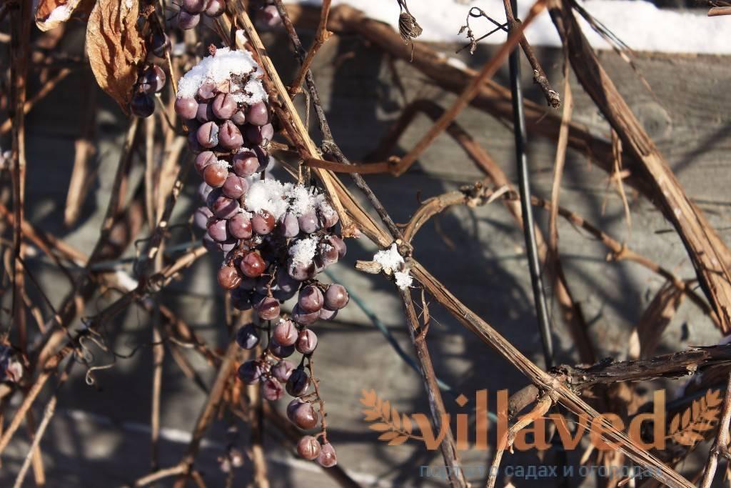 Основные способы укрытия виноградников осенью