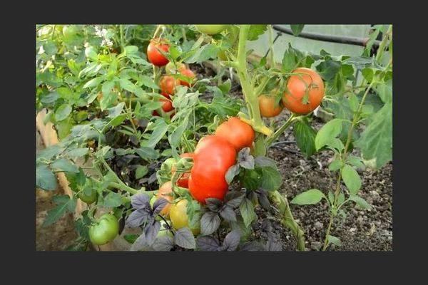 Сорт томата «взрыв» — ранний урожай, отличное хранение!