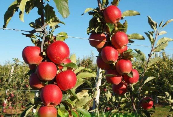 Сорт яблони голден делишес – сладкий любимец садоводов